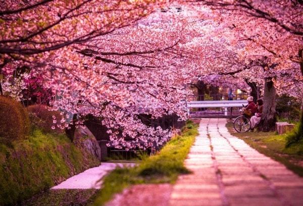 Sakura Cerezo en flor japonés