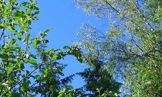 9835b1bc8cd nettipäiväkirja4: Omenapuu ja koivu