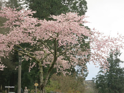 gray Oregon sky; flowering trees