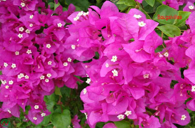 bougainvillea flower, bougainvillea