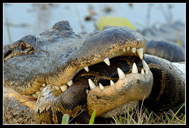 Python Eats Alligator . . . and Other Possibilities - photo#11