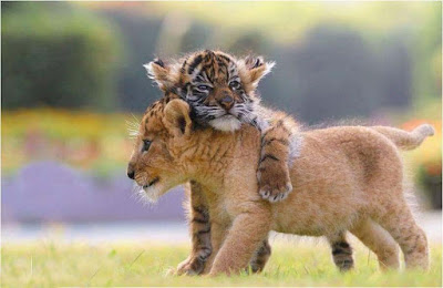 doing-huge-one-tiger-cub-to-another-walls