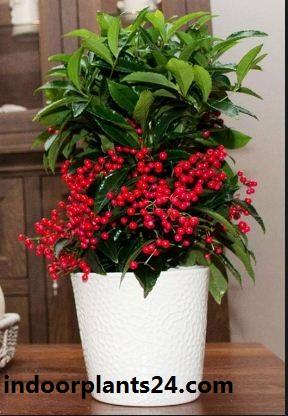 Ardisia crenata Myrsinaceae indoor house plant image