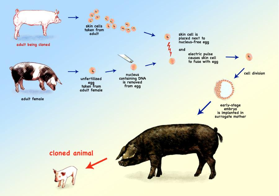 Image result for cloned animals blogspot.com