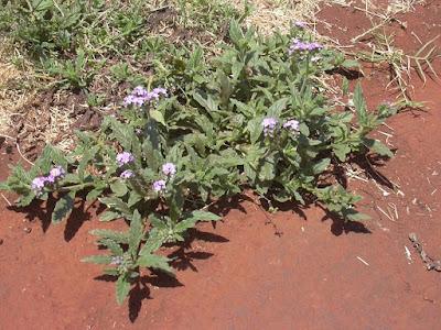 Heliotropium amplexicaule