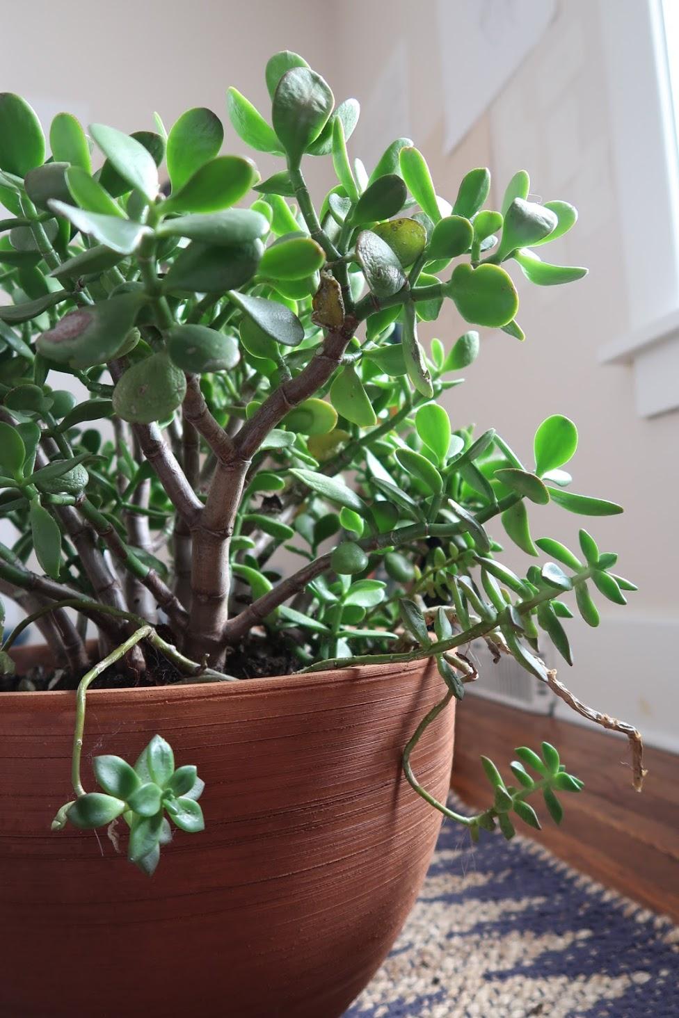 succulent jade potted green sun