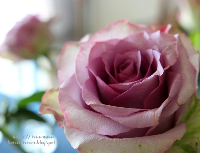 vaaleanpunainen ruusu radi raskausdiabetes sokerirasitus