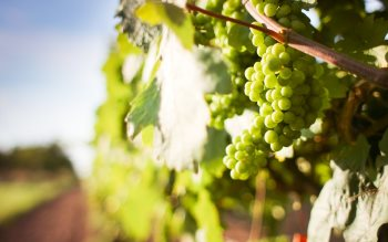 Wallpaper: Grapes on grapevine