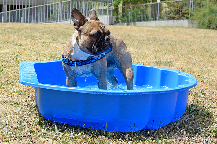 Sommer Hund Abkühlung Planschbeclen Schwimmbecken Hundeschwimmbecken