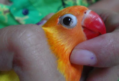 Penyakit%2BSnot%2Blovebird