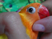 Cara Perawatan Lovebird Kena Snot, Ini Obatnya!