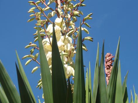 flor y capullos de la yuca