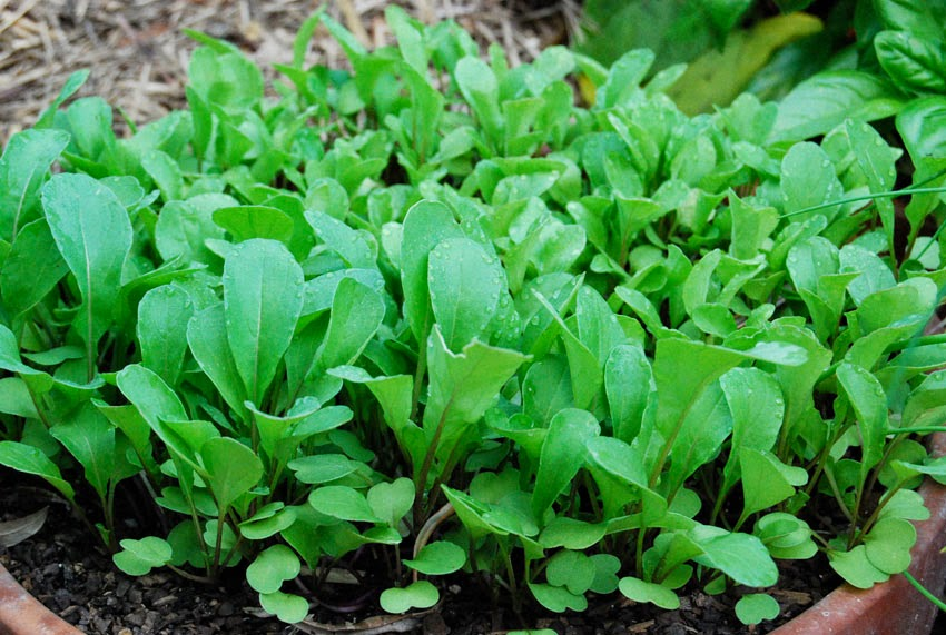 Arugula | Delectable Edibles You Can Grow In Your Indoor Winter Garden