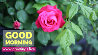 Pink-Rose-Flower-Good-Morning-yellow-Text