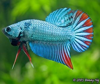 Jenis Ikan Cupang Spesies Betta Imbellis