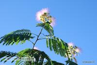 ネムノキの花の写真