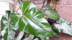 Air cleaner Elephant Ear Philodendron domesticum