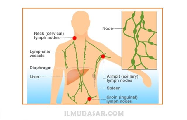 Pengertian Nodus Limfa, Fungsi Nodus Limfa, Struktur Nodus Limfa