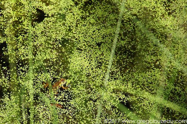 Grenouille verte Rana klepton esculenta Fontainebleau