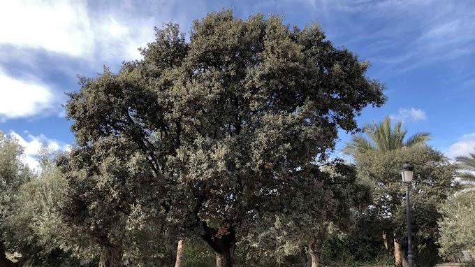 Quercus Ilex Var. Ilex
