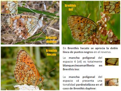 Brenthis ino, daphne y hecate en la península ibérica: los reversos