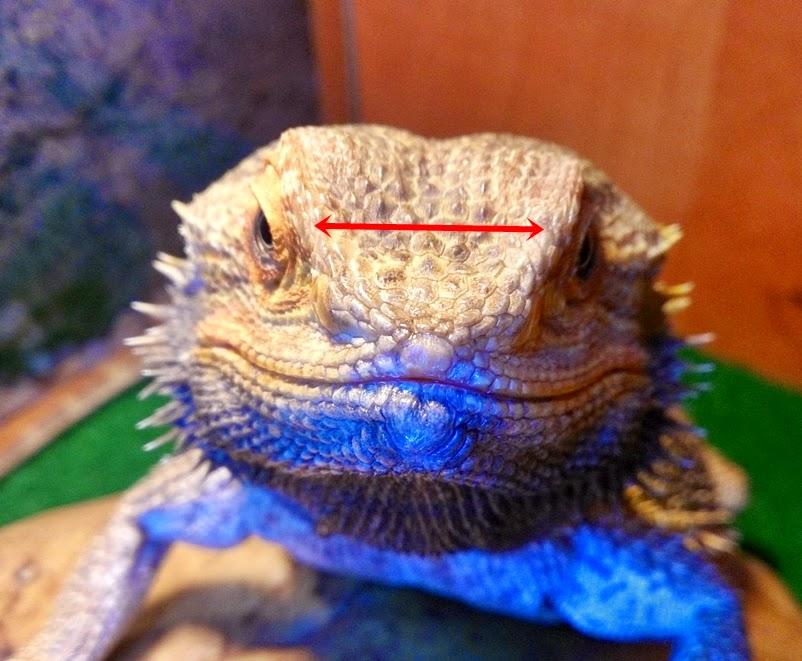 Bearded Dragon (Lizard): Habitat, Diet, and Care
