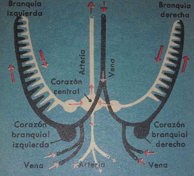 Corazones y branquias de la sepia. Esquema sobre el sistema respiratorio. Se señala el corazón central o sistémico, los branquiales, branquias, venas y arterias de la jibia.