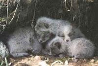 Resultado de imagem para raposa do artico filhotes