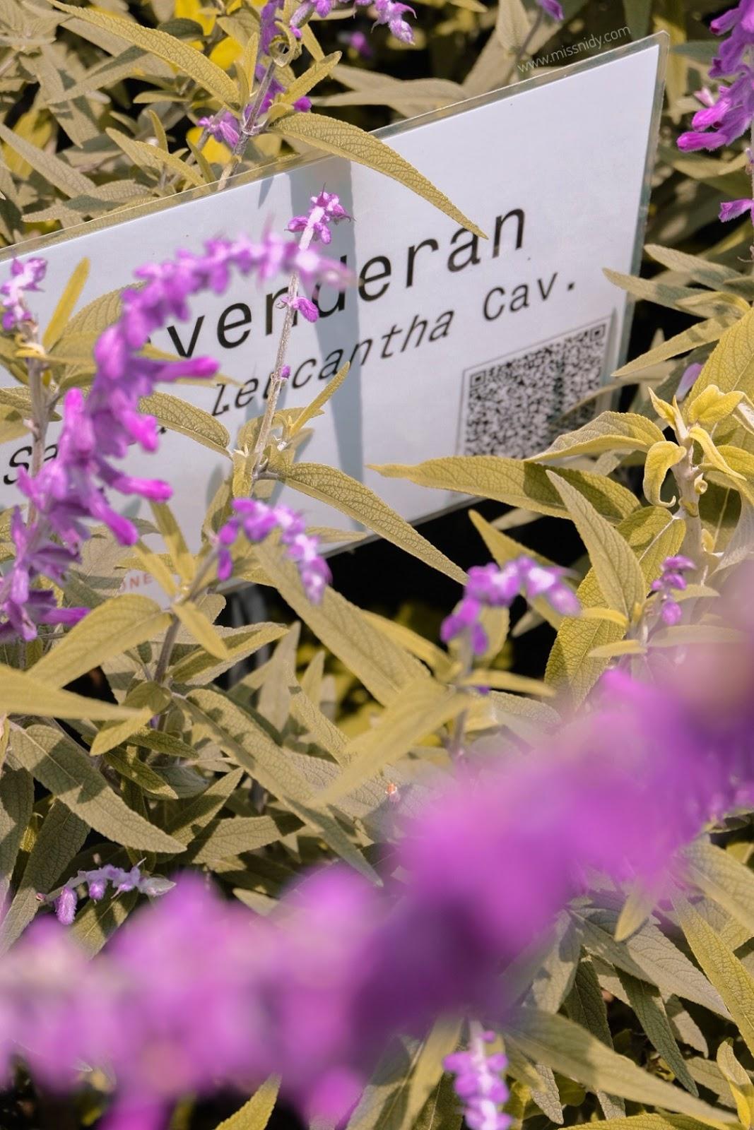 lavender di rumah atsiri tawangmangu