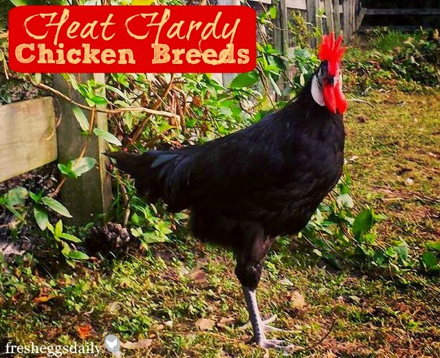 20 Heat-Hardy Chicken Breeds | Fresh Eggs Daily®