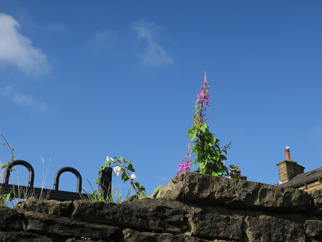 Willow Herb and bindweed growing on a wall in Halifax with house behind.
