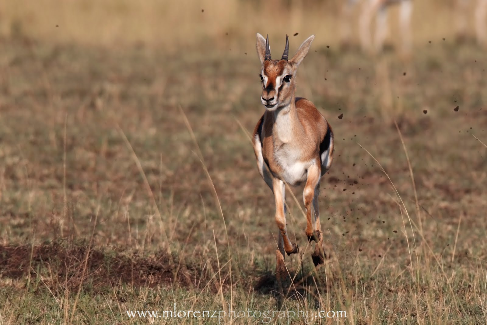 gazelle running from lion - photo #3