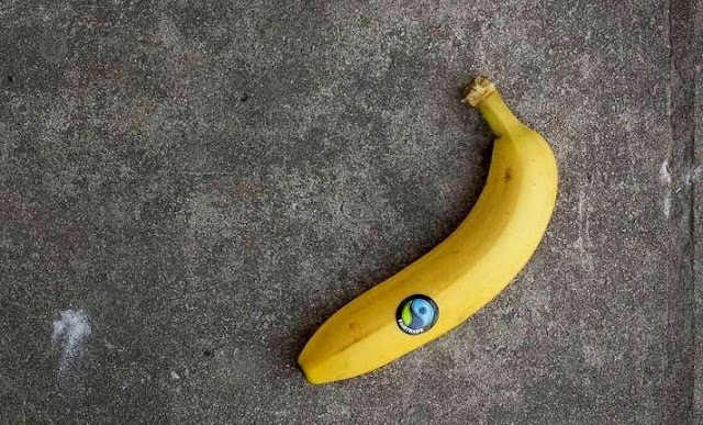 Why do bananas bend?