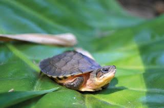 Merawat Kura-kura Yang Tempurungnya Retak