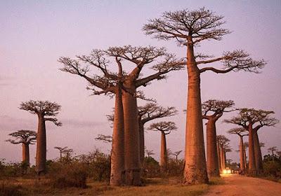 O majestoso Baobá