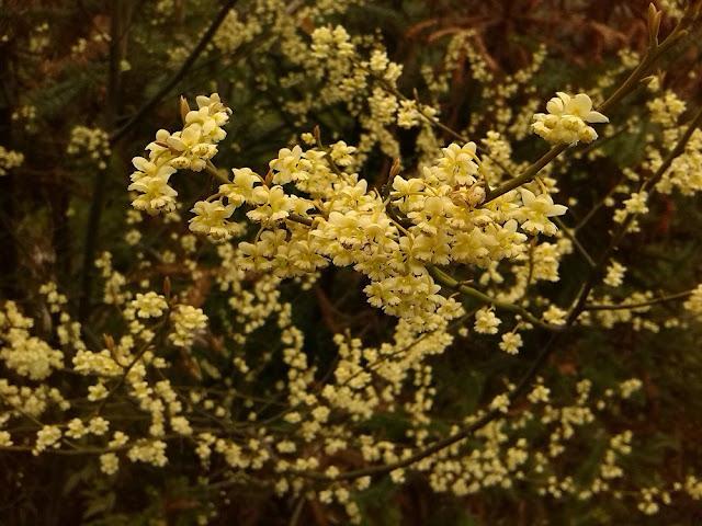 Hoa Màng Tang - Litsea cubeba - Nguyên liệu làm thuốc Chữa Bệnh Tiêu Hóa