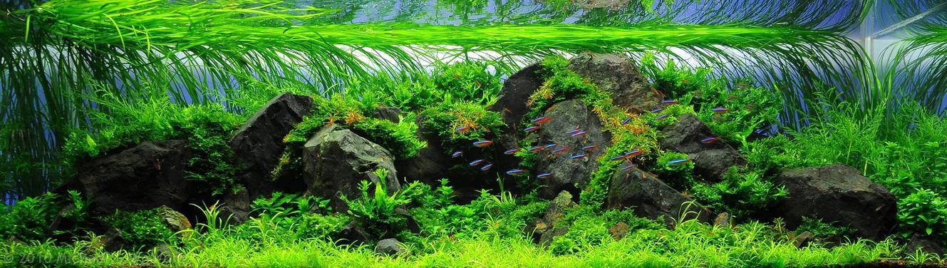 hồ thủy sinh trồng dượng xỉ sừng hươu