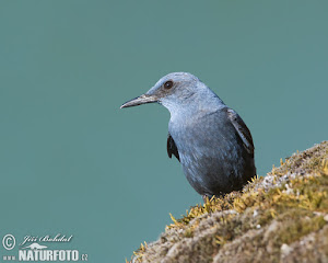 Blue Rock Thrush, Porthgwarra
