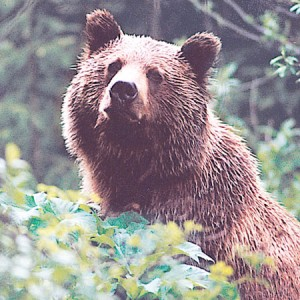 THE WESTERNER National forests propose new restrictions in grizzly habitat