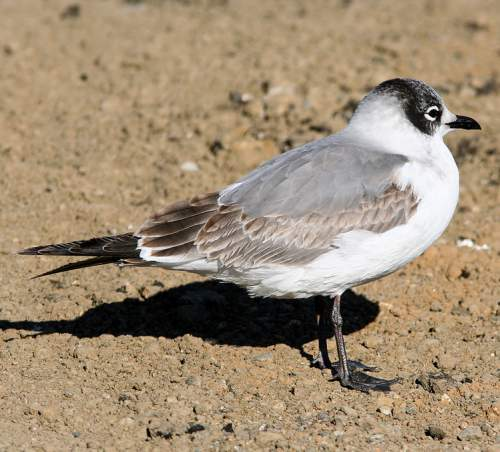 Indian birds - Image of Franklin's gull - Leucophaeus pipixcan