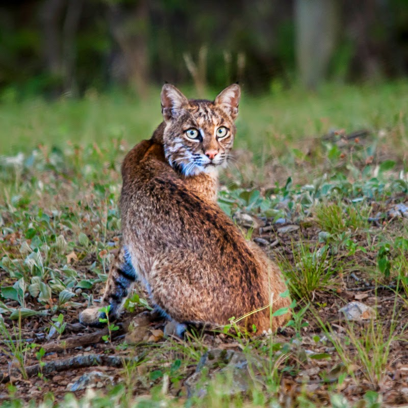 A bobcat watches his back in Ozark County, Missouri