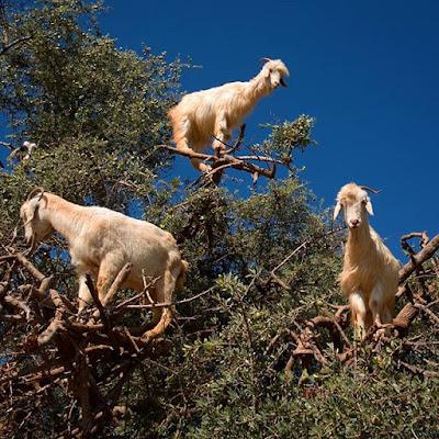 Cabras sobre un Argán en Essaouira