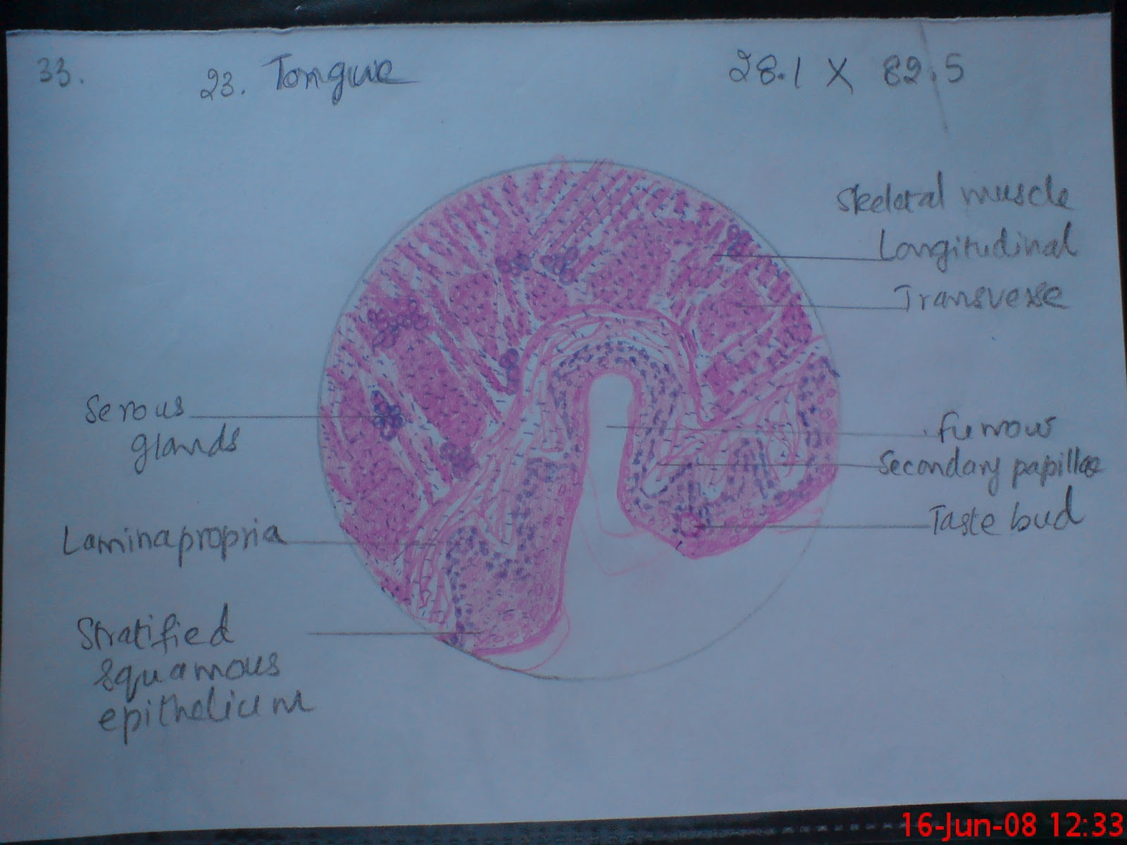 diagram of the tongue with labels dometic rm2652 wiring pancreas histology section