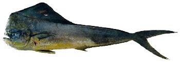 Peixe Dourado do Mar (Coryphaena hippurus)