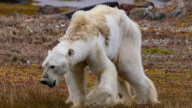 La dramática imagen de un oso polar muriendo de hambre en un Ártico sin nieve