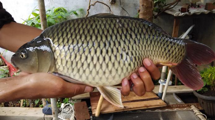 Cara Membuat Umpan Ikan Mas Kilo Gebrus