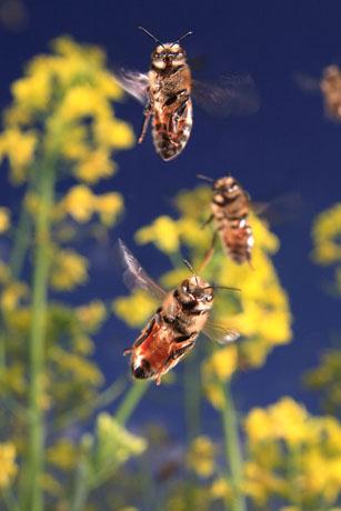 Πόσο μακριά μπορεί να συλλέξει μια μέλισσα?