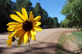 A roadside sunflower