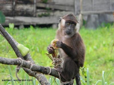 Pagai island macaque