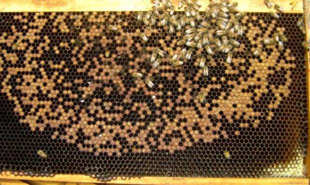 Η νοζεμίαση των μελισσών: Από τις σοβαρότερες ασθένειες με μεγάλες απώλειες στο πλυθησμό!